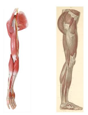extremidades superiores e inferiores y sus partes